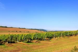 Weinanbau an den Hängen der Unstrut