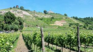 Weinanbaugebiet an der Elbe